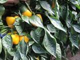 Pimientos California amarillos sanos y de calidad en una explotación agrícola de El Ejido.