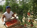 Cultivo de tomate en invernadero.