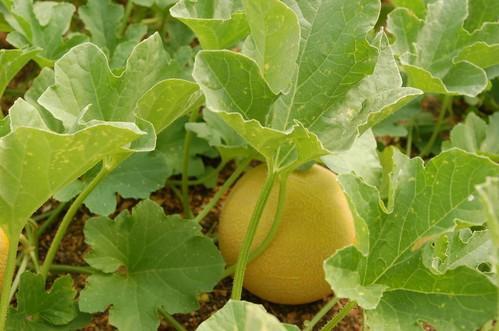 Cultivo de melón galia.