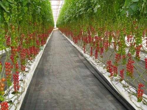 Marruecos introdujo tomate en la ue por debajo del precio for Asociacion de cultivos tomate